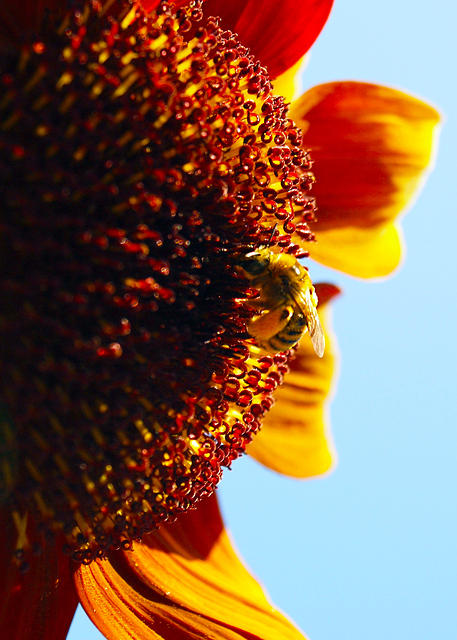 Sunflower Bee2