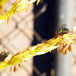 Fly on Corn