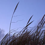 Beach Grasses Waving