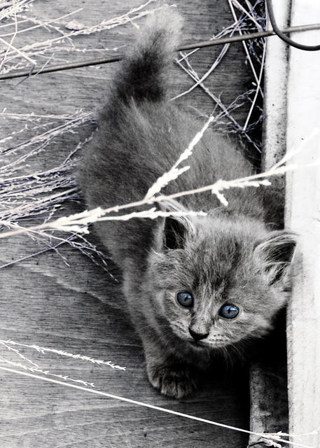 Blue Grey Kitten